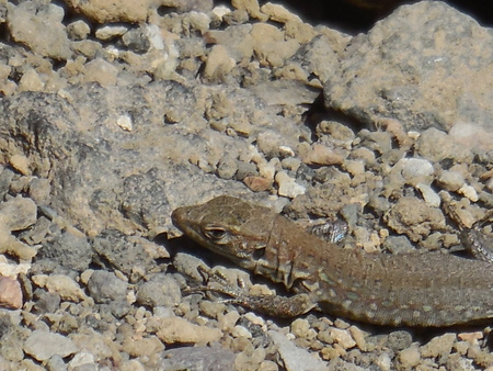 lacertidae: Lizard on the rocks