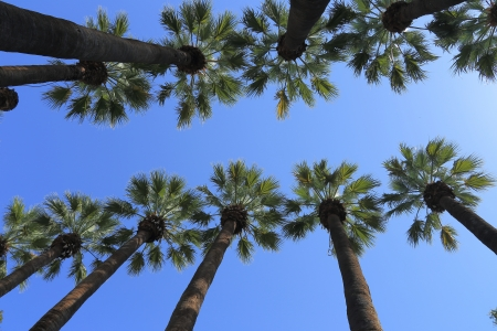 high palm trees against clear blue sky photo