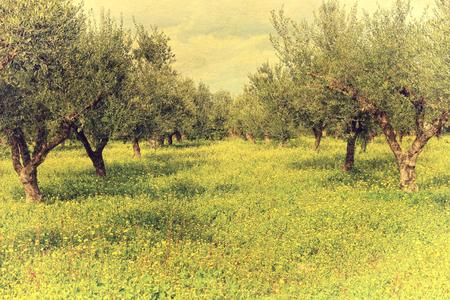 messenia: Olive garden with green grass. Messenia, Greece