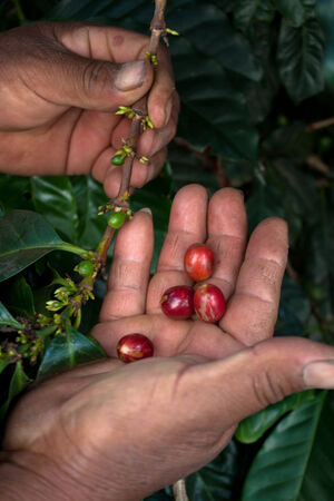 bean family: Coffee beans and hands farm Guatemala