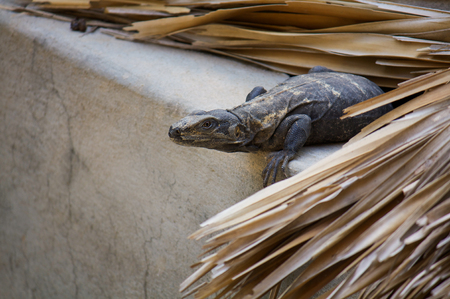 lazyness: Iguana living in the roof hunting Puerto Escondido Mexico