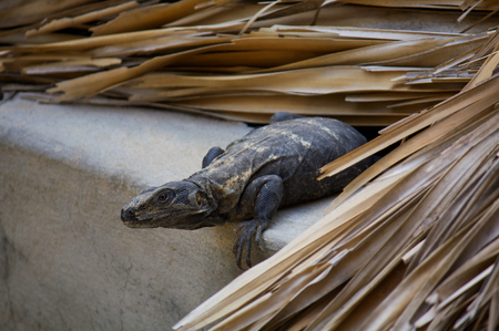 lazyness: Iguana living in the roof preparing to jump Puerto Escondido Mexico