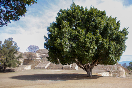 huge tree: Monte Alban Oaxaca Mexico huge tree next to the pyramids