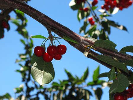Clúster de cerezas maduras de rojas en un árbol.