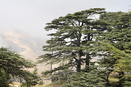 The cedar forest in Lebanon in the fog