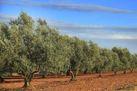 Een olijfbomen bosje in de Provence, Frankrijk.