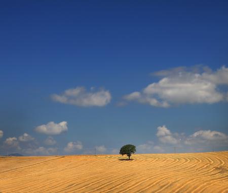 A lone oak tree in a golden field under a blue sky.
