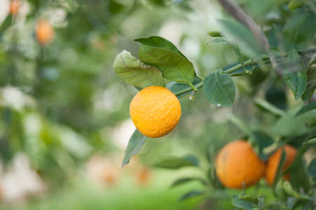 Wonderful orange fruit , its ask you to see its beauty