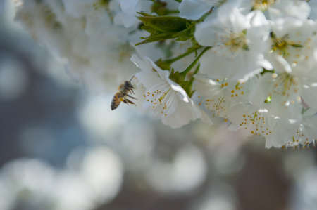 cherry flower kissing a bee Before it gives it nectar Banco de Imagens