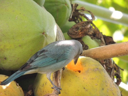 snooping: bird looks inside a fruit for food