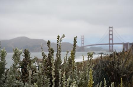 Golden Gate Bridge behind a wild flowered bush, scan from Baker Beach San Francisco City