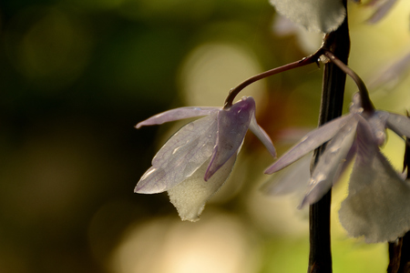 wild orchid in a rainy morning in June
