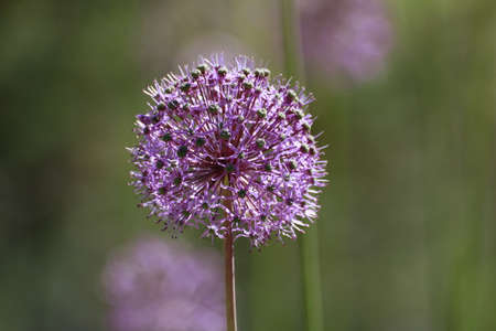 Dandelion flower with seeds ball close up in color violet with other dandelion in harmonic background