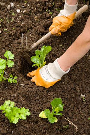 Planting silverbeet and celery in the vegetable garden photo
