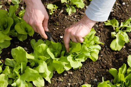 Cutting fresh and natural salad in the vegetable garden photo