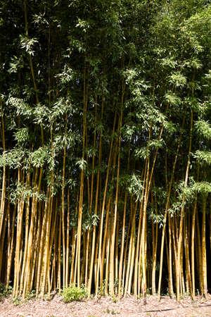 viridis: A forest of Phyllostachys sulphurea viridis bamboo plants