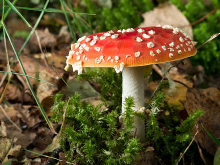'fly agaric': The red and white poisonous toadstool or mushroom called Amanita Muscaria or Fly Agaric