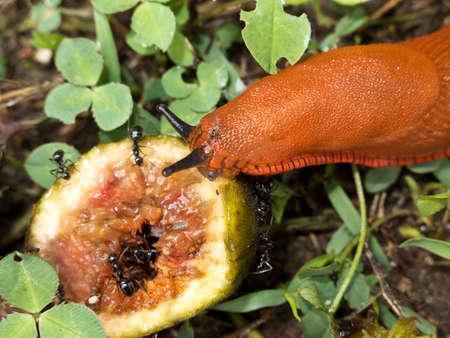 babosa: Una babosa de color naranja se alimentan de un higo Foto de archivo