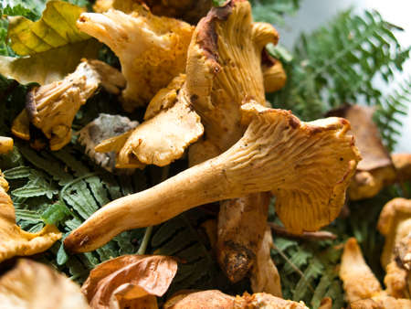 cantharellus: Some freshly picked golden Chanterelle or Cantharellus cibarius, a kind of edible fungus