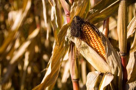planta de maiz: Una oreja madura de maíz o maíz en la planta en un campo