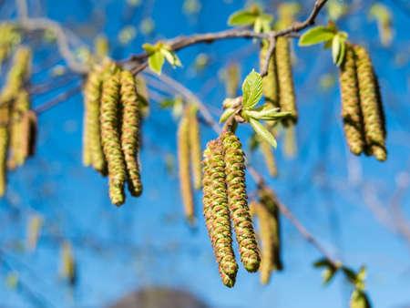 hornbeam: A flowering Hop Hornbeam tree or Ostrya Carpinifolia in spring