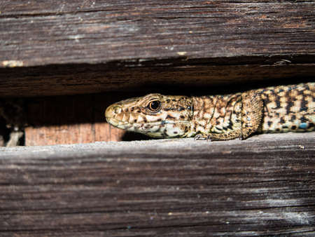saurian: A close-up of a common wall lizard or Podarcis muralis in northern Italy