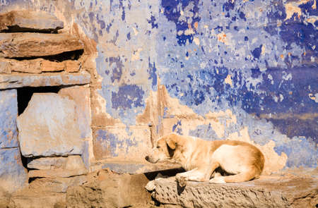 A sleeping brown beige indian dog against a blue wall in the city of Jodphur in Rajasthan, India Stock Photo