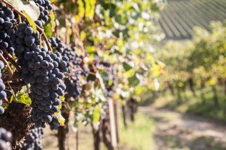 Wine grapes in a vineyard near Nizza Monferrato in the Piemonte region of northern Italy Stock Photo