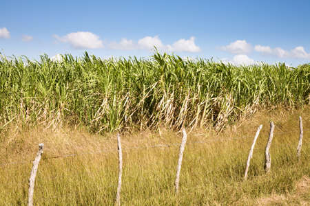 A field of sugarcane in the area around Cienfuegos in southern Cuba Stock Photo - 91178919