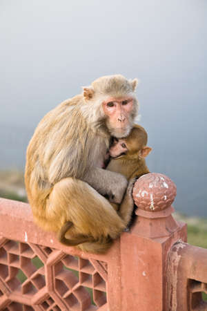 A mother Rhesus Macaque with infant on an Indian style railing or fence Stock Photo