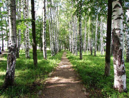 Birch Grove. Park. Plyos town. Imagens