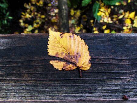 Torn autumn leaf
