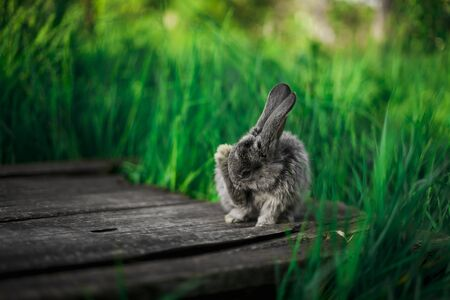 californian: A small gray bunny is sitting on a wooden plank in the garden, against the background of grass.