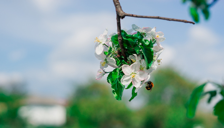 Bee on a flower of the white cherry blossoms.