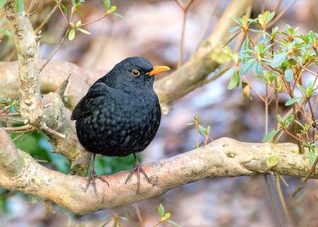 merula: Male blackbird  tuldus merula in the garden