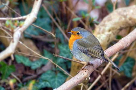 erithacus: Robin, Erithacus rubekula