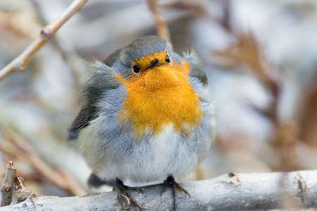 robin bird: Robin, Erithacus rubekula