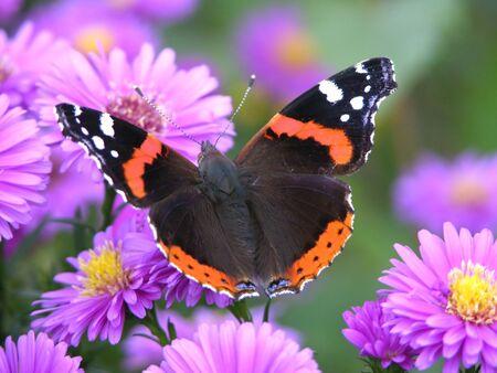 butterflies flying: farfalla