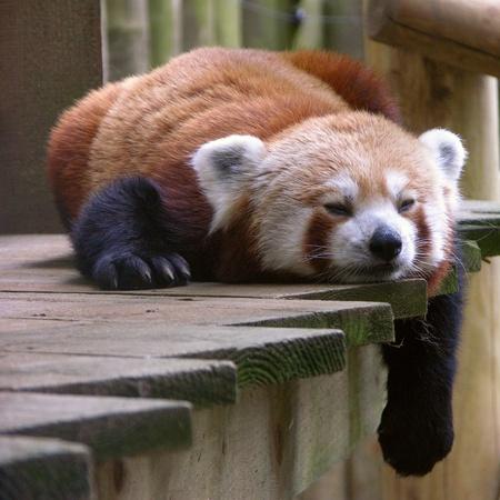 br: red panda