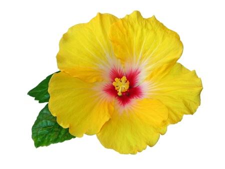 flores exoticas: hibisco Foto de archivo