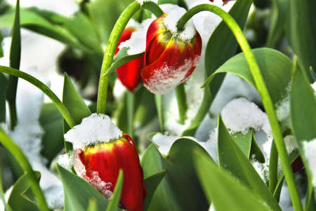 unwelcome: Tulips and spring are battling against the unwelcome snow