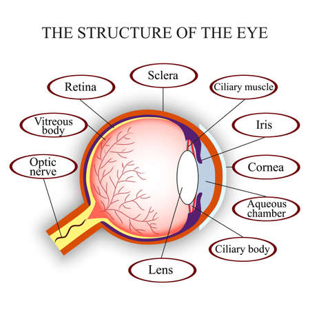Scheme the structure of the human eye, vector illustration. Иллюстрация