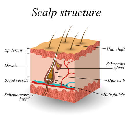 The structure of the hair scalp, anatomical training poster vector illustration. 矢量图像