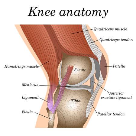 Anatomía de la vista lateral de la articulación de la rodilla, plantilla para entrenar un póster médico quirúrgico, página de traumatología. Ilustración de vector