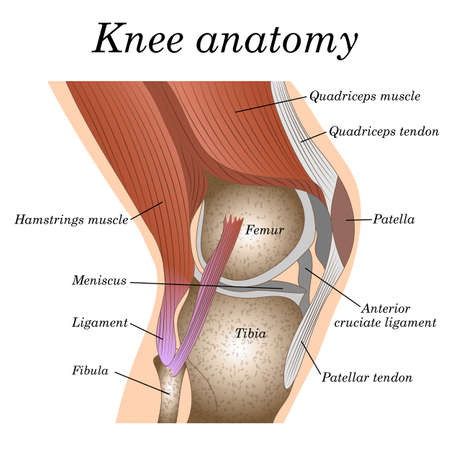 Anatomy of the knee joint side view, template for training a medical surgical poster, traumatology page. Фото со стока - 95643732