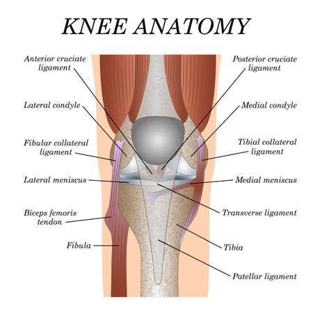 Anatomy of the knee joint front view, template for training a medical surgical poster, traumatology page. Illustration