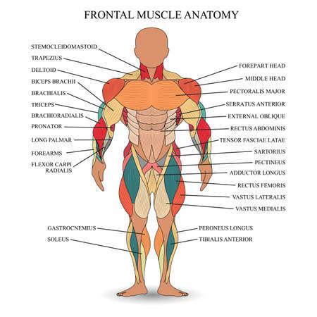 Die Menschliche Muskulatur Vektor-Illustration, Vorder- Und ...