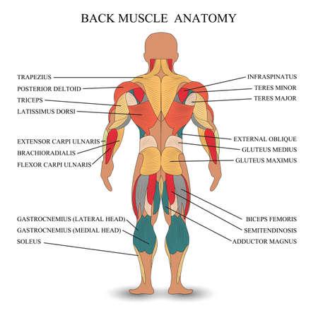 Anatomie des muscles humains dans le dos, un modèle de tutoriel médical, bannière. Illustration vectorielle. Vecteurs