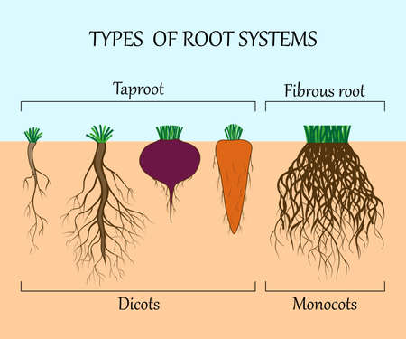 Types of root systems of plants, monosots and dicots in the soil in cut. Education poster, vector illustration. Stock Illustratie