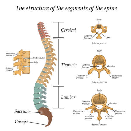 Diagram of a human spine illustration 일러스트